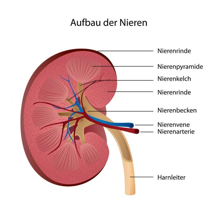 Nierenentzündung: Ursachen, Symptome und Behandlung